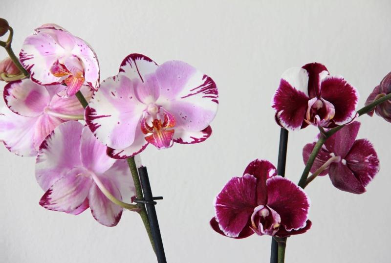 Phalaenopsis mit verschiedenen Blüten an zwei Trieben Img_1610