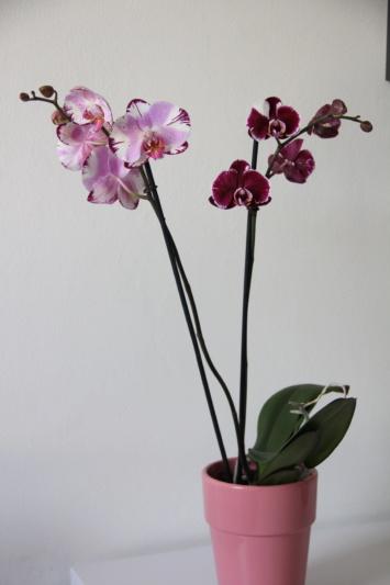 Phalaenopsis mit verschiedenen Blüten an zwei Trieben Img_1611