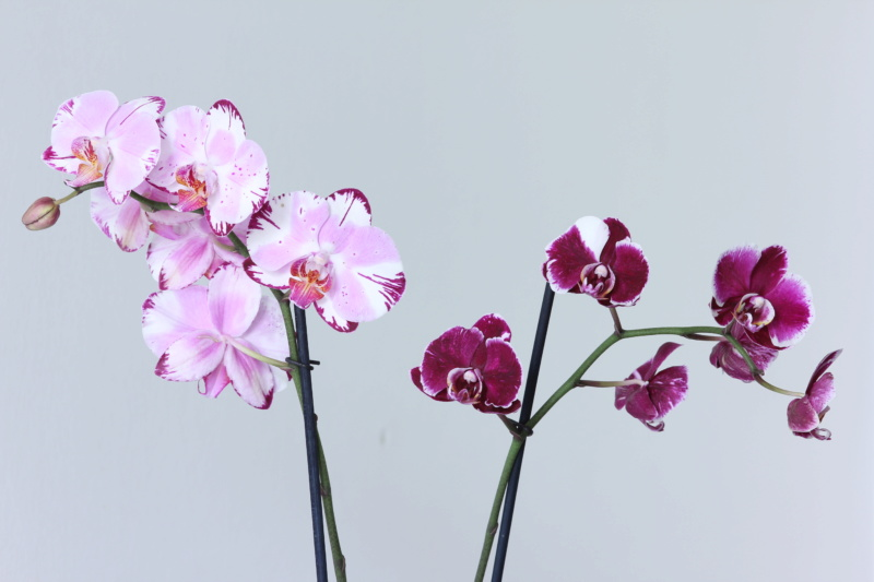 Phalaenopsis mit verschiedenen Blüten an zwei Trieben Img_2110