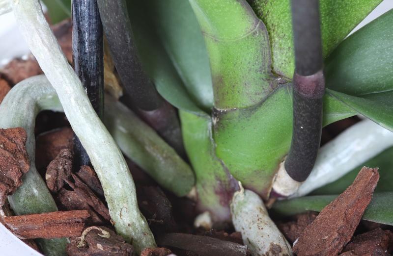 Phalaenopsis mit verschiedenen Blüten an zwei Trieben Img_2112