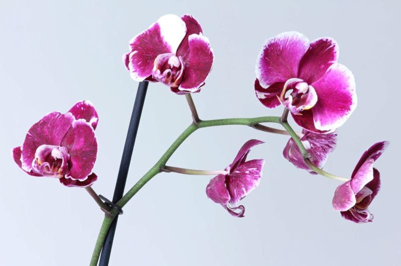Phalaenopsis mit verschiedenen Blüten an zwei Trieben Img_2113