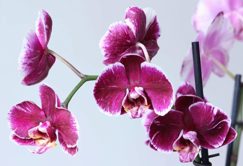 Phalaenopsis mit verschiedenen Blüten an zwei Trieben Img_2114
