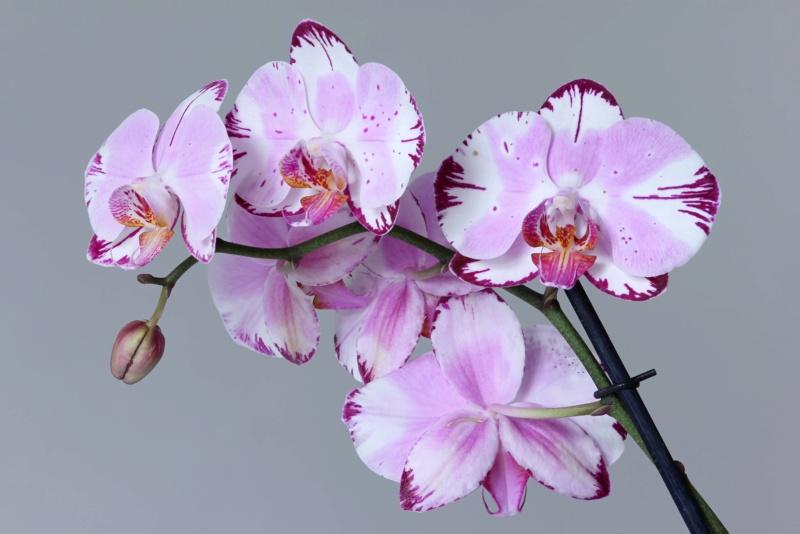 Phalaenopsis mit verschiedenen Blüten an zwei Trieben Img_2115