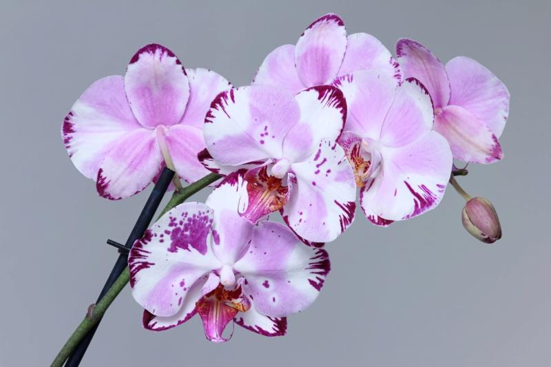 Phalaenopsis mit verschiedenen Blüten an zwei Trieben Img_2116