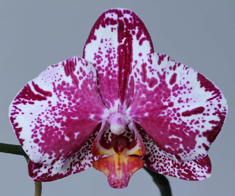 Phalaenopsis mit verschiedenen Blüten an zwei Trieben Img_2117