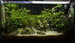 Iwagumi low tech Planta14