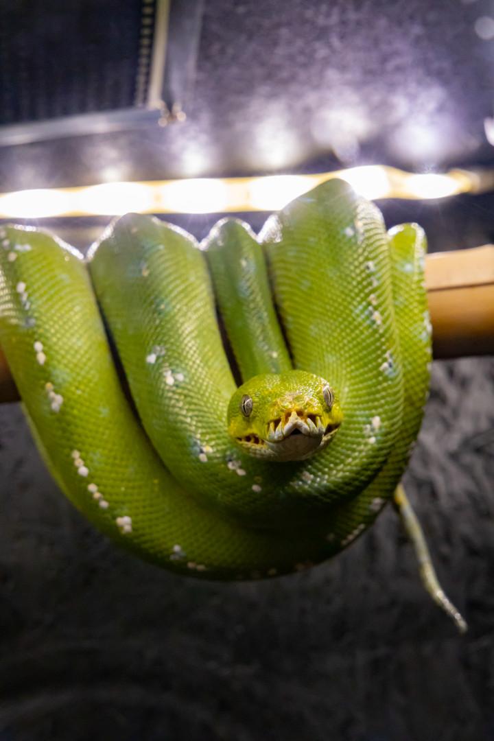 Choix Pythonidae arboricole  28164610