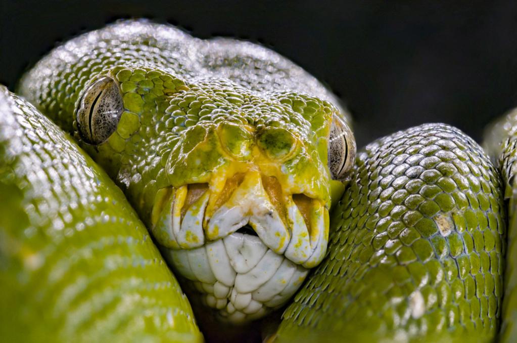 Choix Pythonidae arboricole  2fdb3310