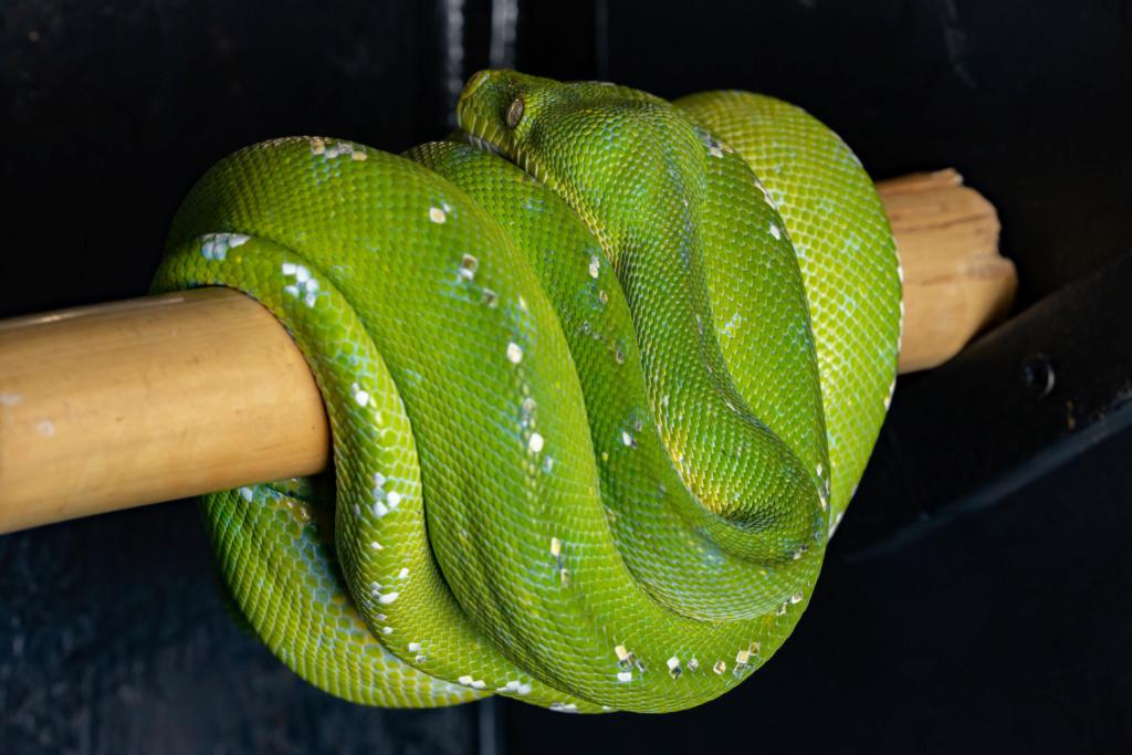 Choix Pythonidae arboricole  90336710