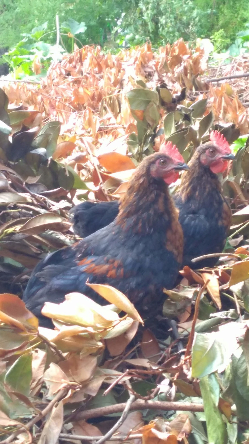Sexage poule marans Img_2011