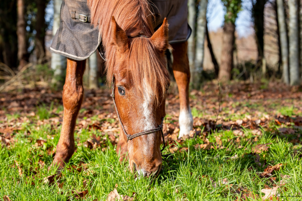 BELLOU - cheval alezan - 30 ans (FA longue durée) 349a9710