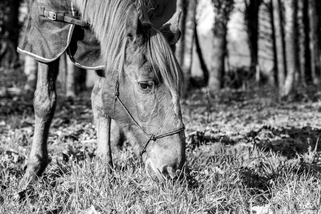BELLOU - cheval alezan - 30 ans (FA longue durée) 349a9810