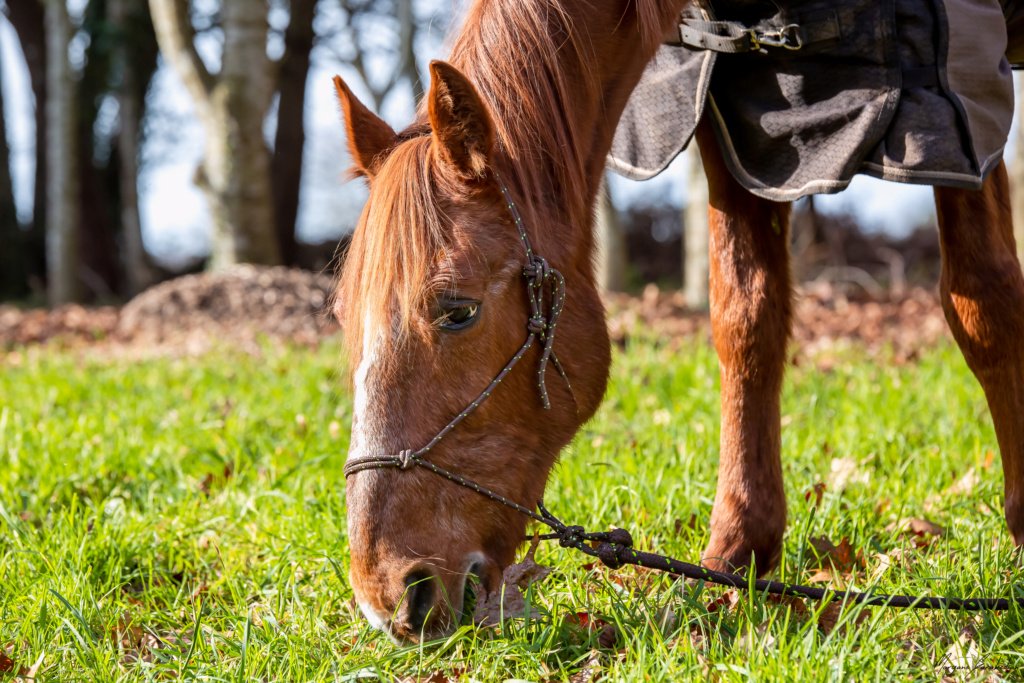 BELLOU - cheval alezan - 30 ans (FA longue durée) 349a9813