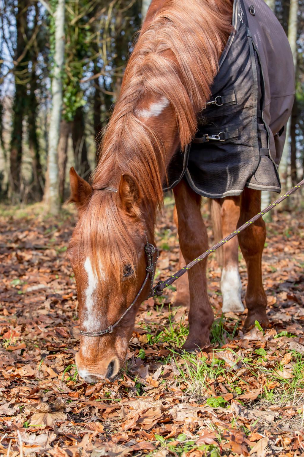 BELLOU - cheval alezan - 30 ans (FA longue durée) 349a9814
