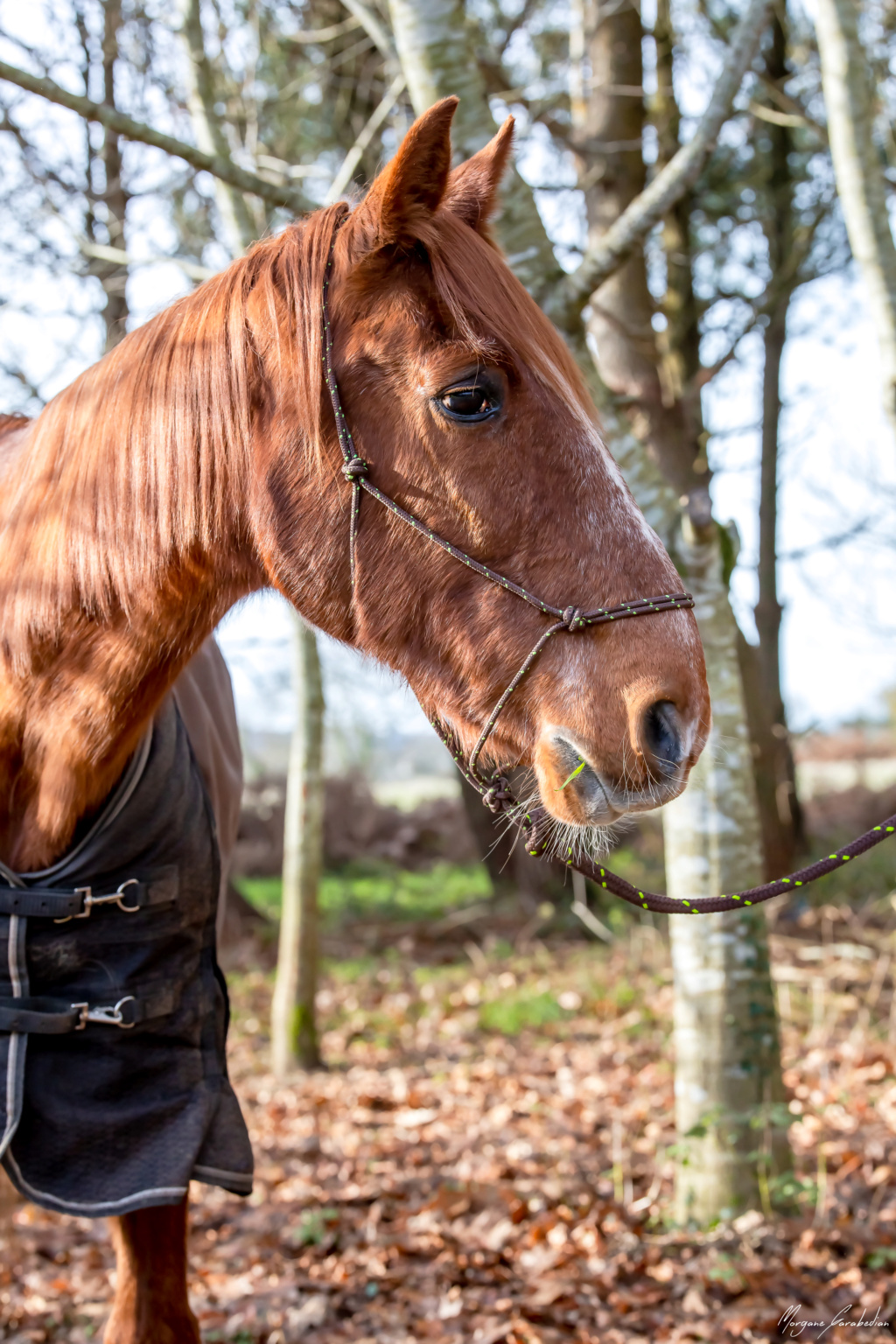 BELLOU - cheval alezan - 30 ans (FA longue durée) 349a9817