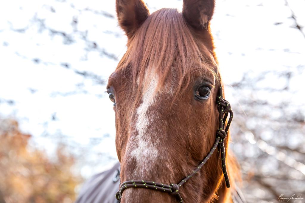 BELLOU - cheval alezan - 30 ans (FA longue durée) 349a9818
