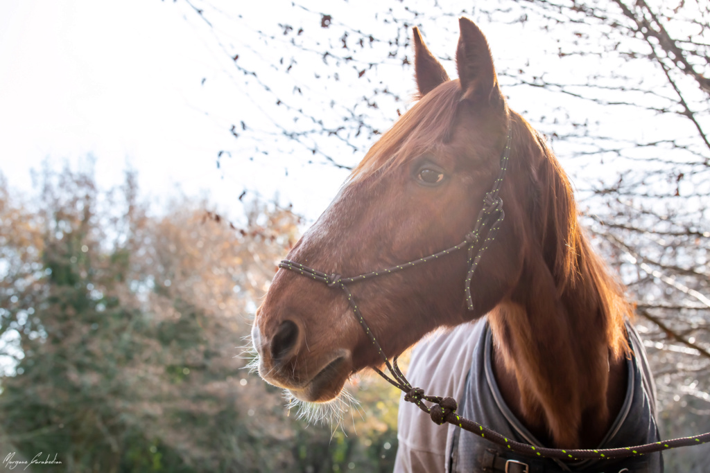 BELLOU - cheval alezan - 30 ans (FA longue durée) 349a9819