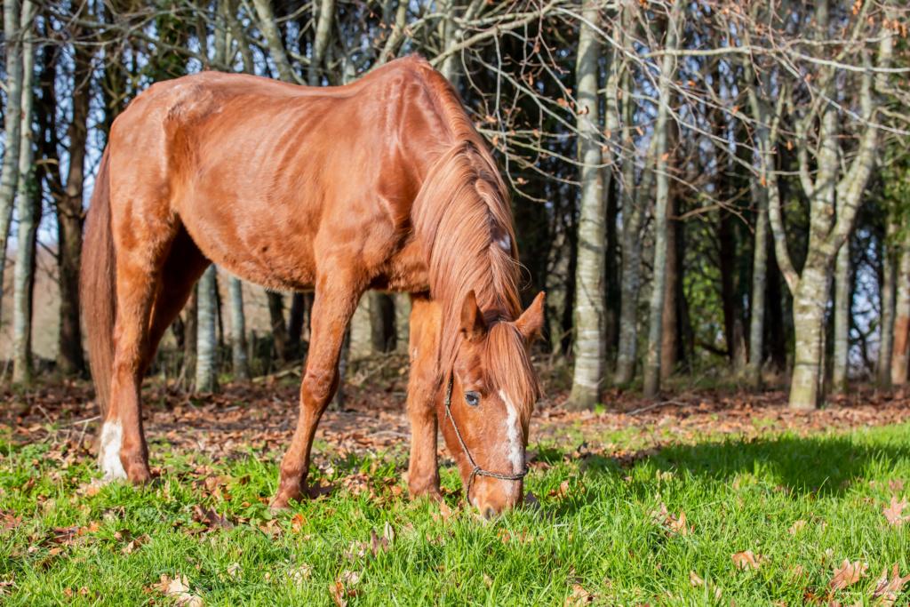 BELLOU - cheval alezan - 30 ans (FA longue durée) 349a9821
