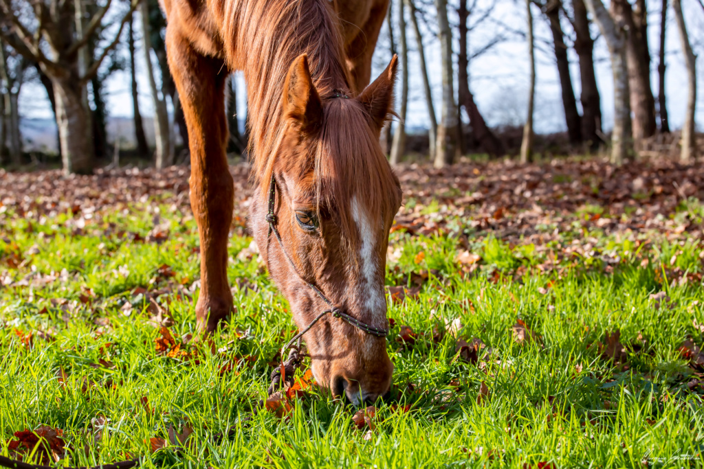 BELLOU - cheval alezan - 30 ans (FA longue durée) 349a9822