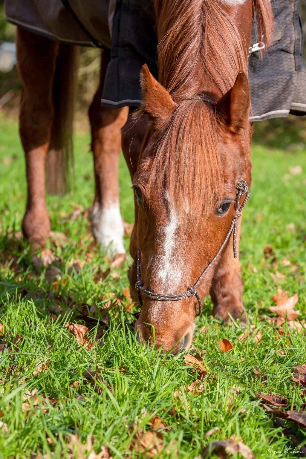 BELLOU - cheval alezan - 30 ans (FA longue durée) 349a9824