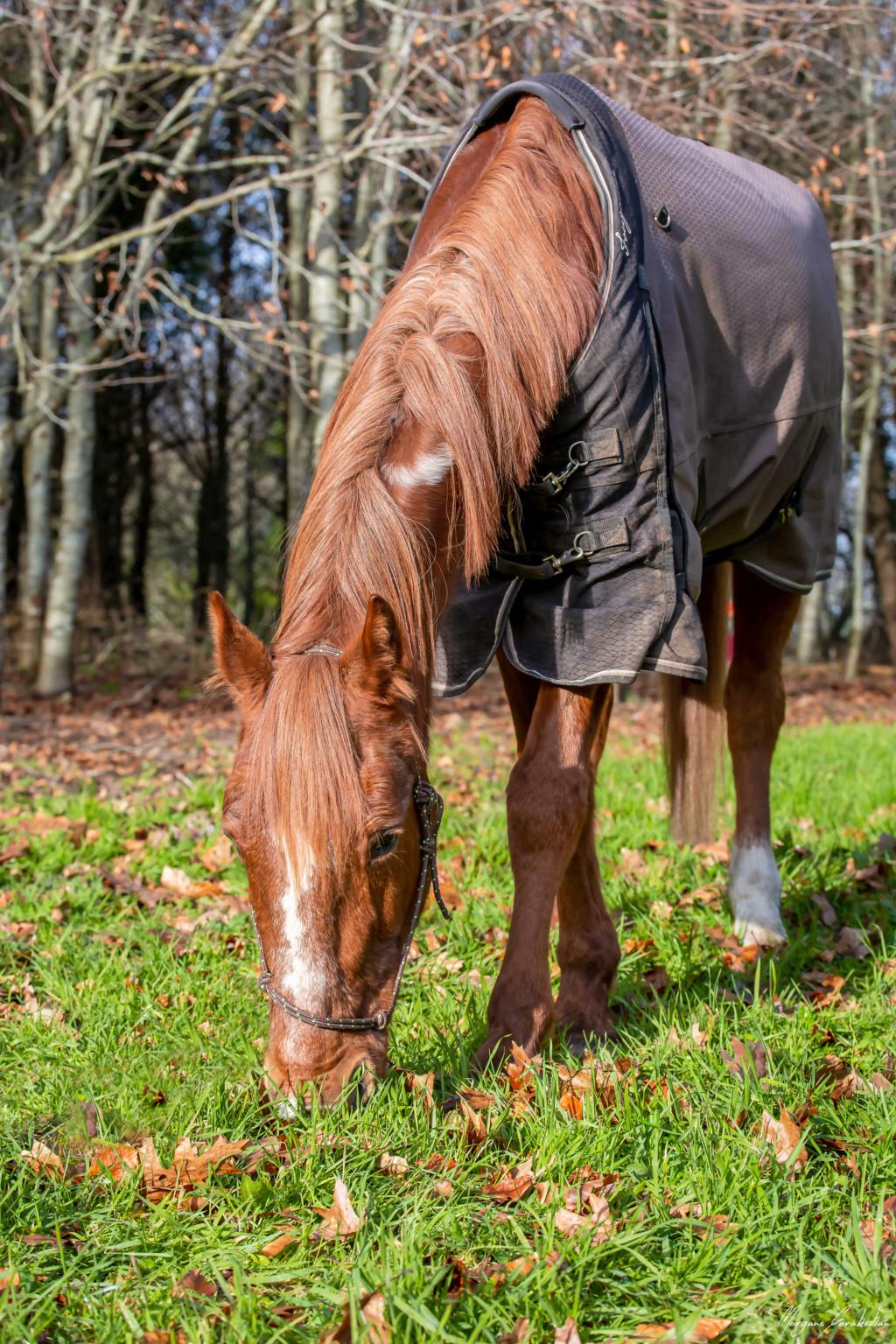 BELLOU - cheval alezan - 30 ans (FA longue durée) 349a9825