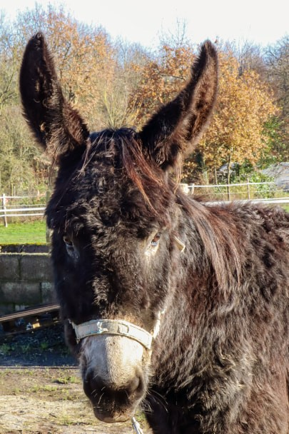 HASHTAG - âne mâle noir - 2 ans - Page 3 Hashta10