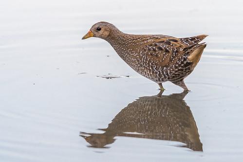 Overmeerse Vogels, up-to-date vogelnieuws uit de regio !