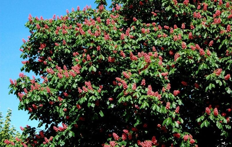 Fleurs ... tout simplement - Page 5 Arb_fl10