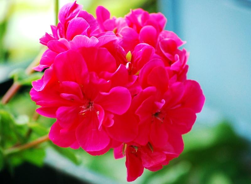 Fleurs ... tout simplement - Page 6 Ger10