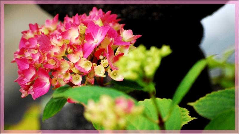Fleurs ... tout simplement - Page 6 Hort710