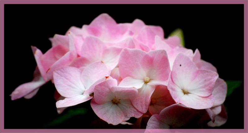 Fleurs ... tout simplement - Page 6 Hort9610