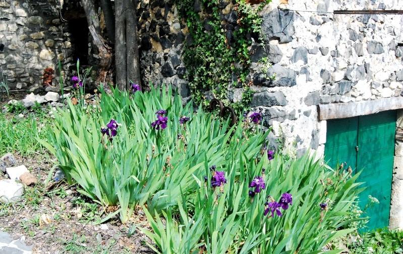 Fleurs ... tout simplement - Page 4 Iris10