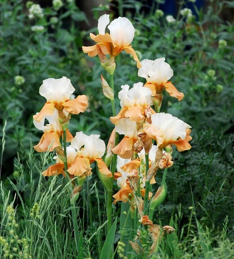 Fleurs ... tout simplement - Page 5 Iris11
