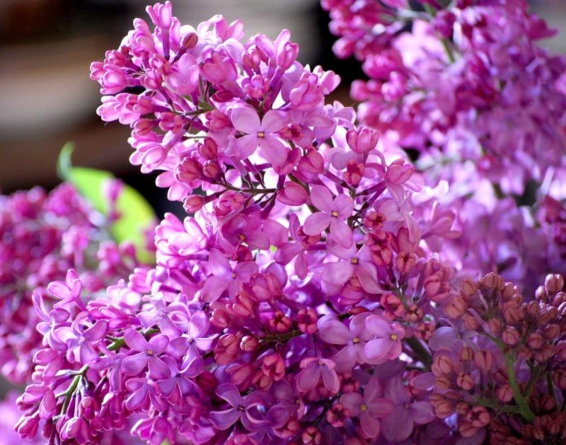 Fleurs ... tout simplement - Page 5 Lilas10