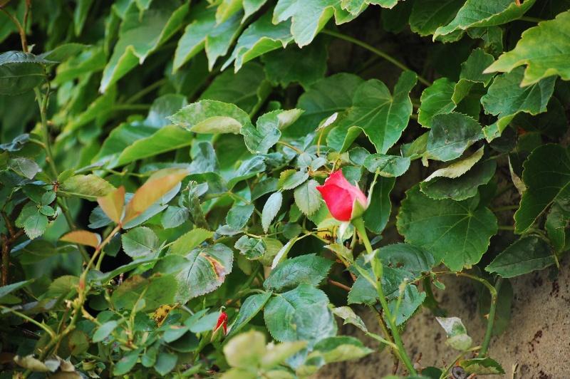 Fleurs ... tout simplement - Page 6 Nikon_38