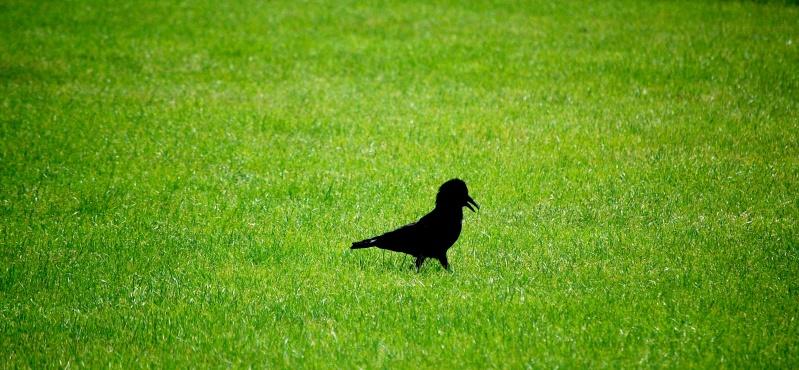 Animaux, oiseaux... etc. tout simplement ! - Page 3 Noir10
