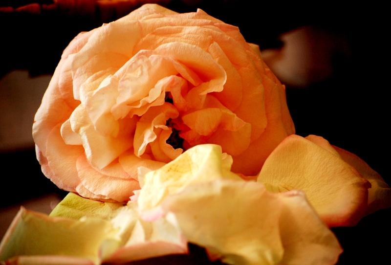 Fleurs ... tout simplement - Page 6 Rose111
