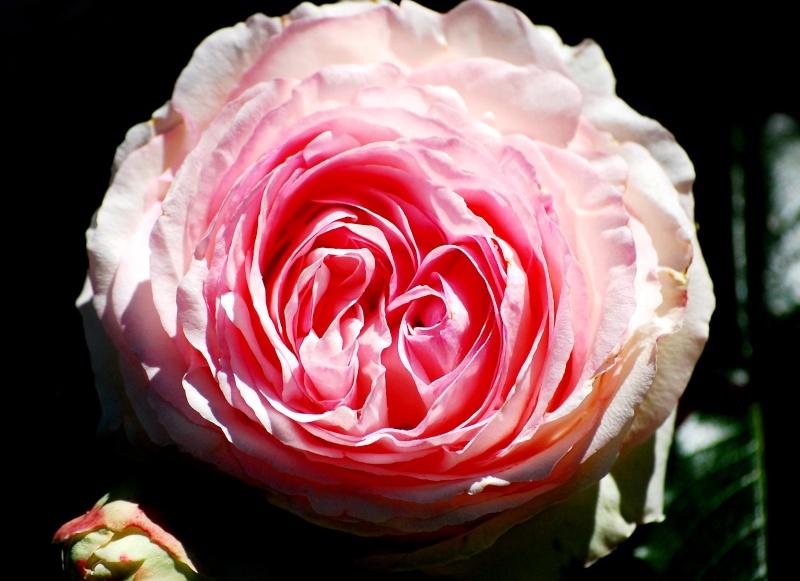 Fleurs ... tout simplement - Page 6 Rose210