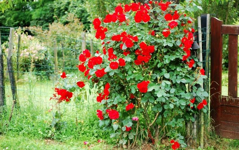 Fleurs ... tout simplement - Page 6 Roses_10