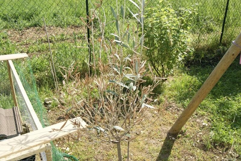 Besoin d'aide avec mon olivier siou plé _dsc5511