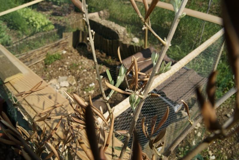 Besoin d'aide avec mon olivier siou plé _dsc5514