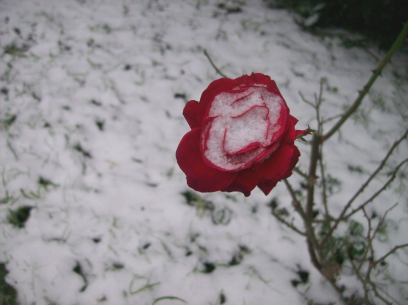 neige - Page 3 Rose_s10
