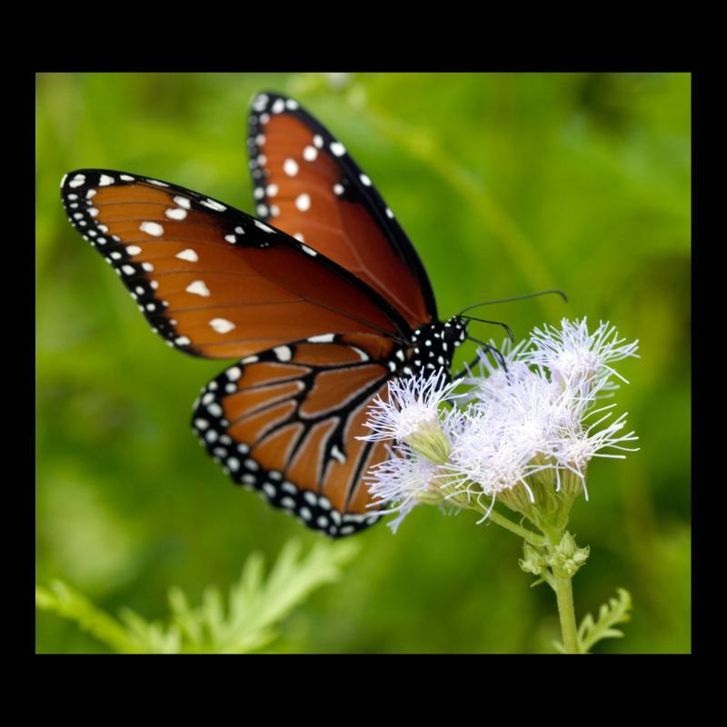 Papillon monarque femelle! 52045010