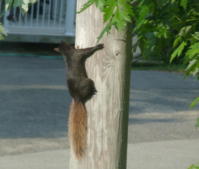 Écureuil noir à queue rousse P1080810
