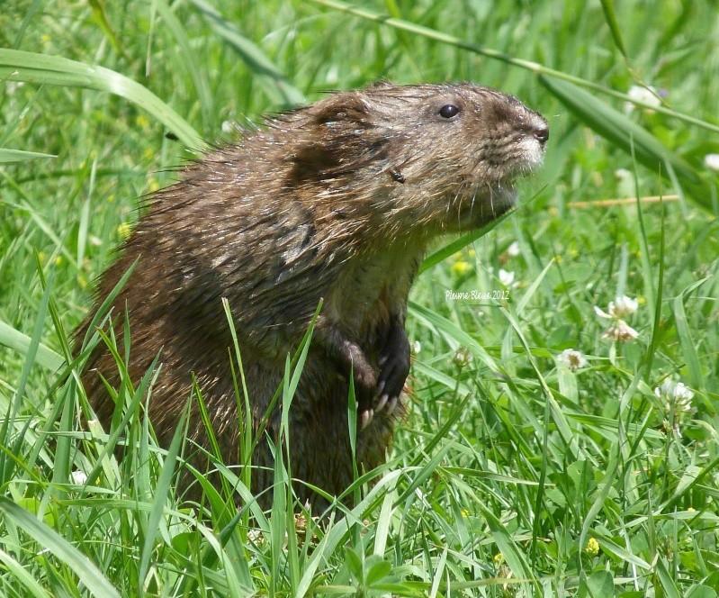 Rat musqué P1080910