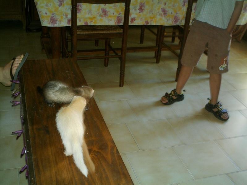 présentation de vos animaux: furets: - Page 8 Fufus_29
