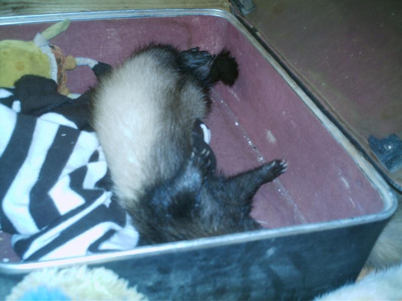 présentation de vos animaux: furets: - Page 8 Fufus_81