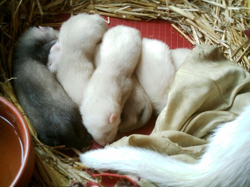 présentation de vos animaux: furets: - Page 6 Furet161