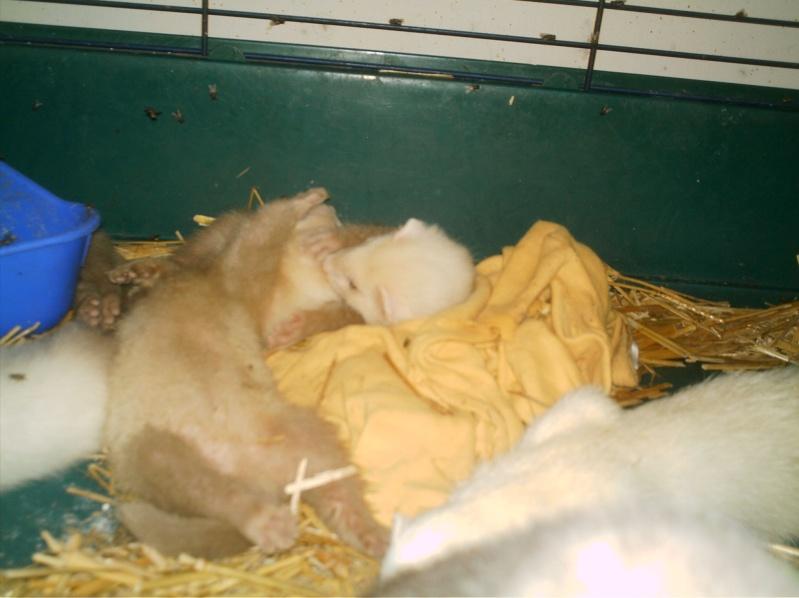 présentation de vos animaux: furets: - Page 7 Furet207