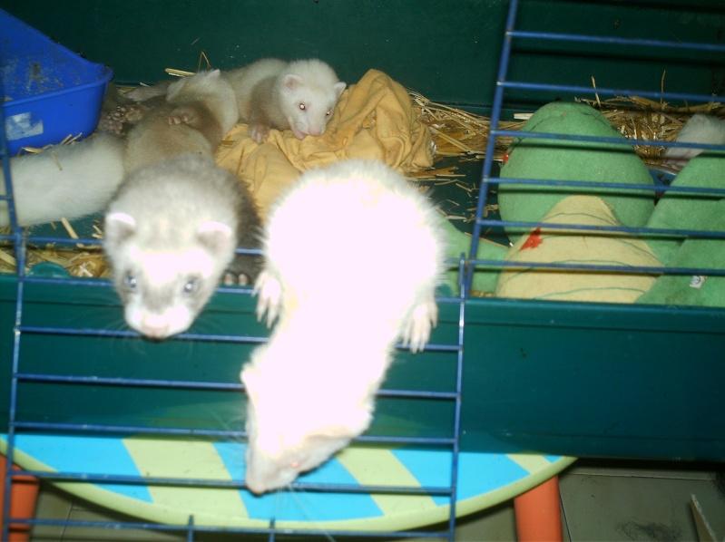 présentation de vos animaux: furets: - Page 7 Furet208